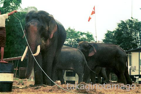 宿営地で水を掛けてもらう象